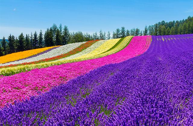 四季彩の丘・ラベンダーが綺麗で美しい花畑
