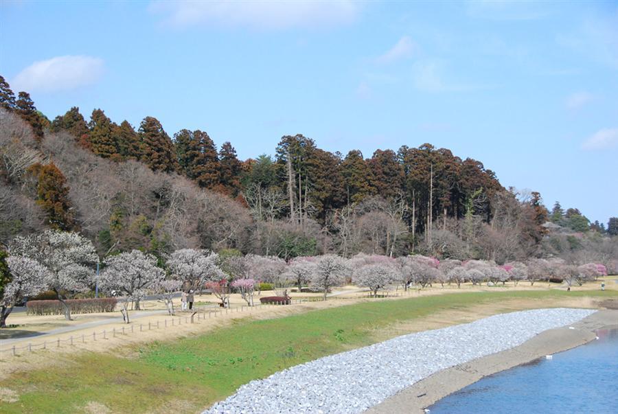 偕樂園的梅花綻放枝頭