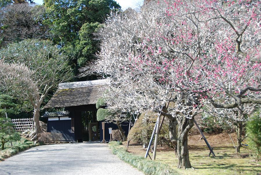 【日本文化旅遊】日本景點,關東(日本三大名園之一偕樂園),台中YMCA-日本文化旅遊